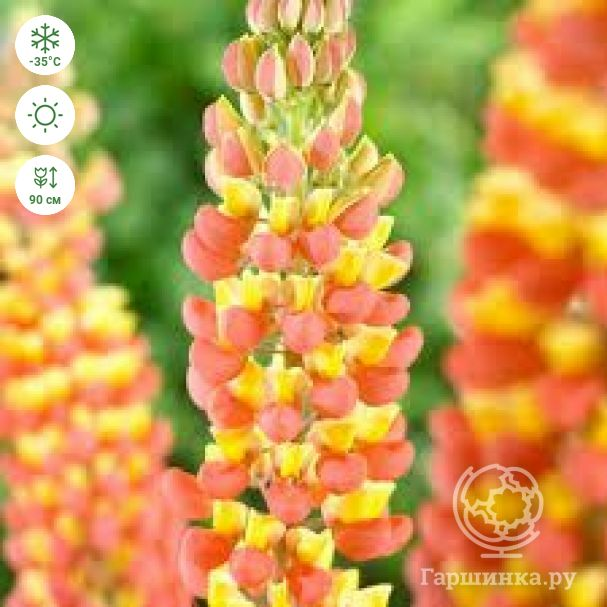 Люпин Lupinus Apricot/Yellow NEW!