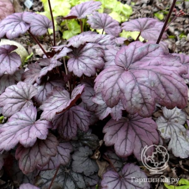 Гейхера Шуга Плам (Heuchera Sugar Plum)