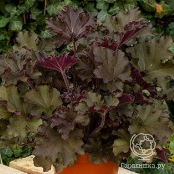 Гейхера Рекс Ред (Heuchera Rex Red)