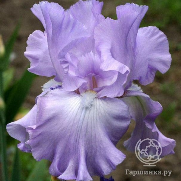 Ирис бородатый Мэри Фрэнсис (Iris germanica Mery Frances)