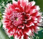 Георгина декоративная Ред энд Вайт Фубуки (Dahlia Red and White Fubuki)